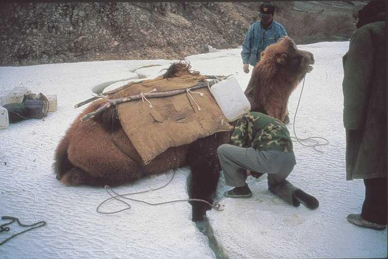 14-camel-stuck