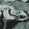13-wild-camel-skull