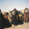 16-camel-team
