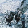 camels in the Gobi desert
