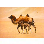 WILD CAMEL POSTCARDS