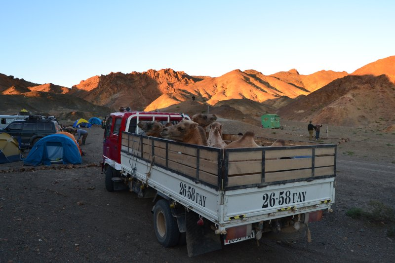 Four wild camels arrive at our camp site near Sharhuls Spring