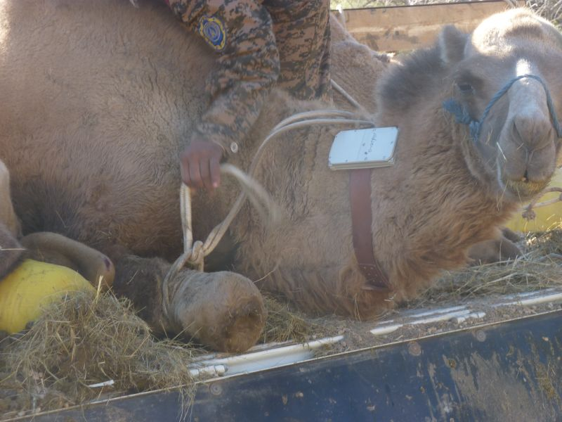 Wild camel about to be released and fitted with a satellite collar