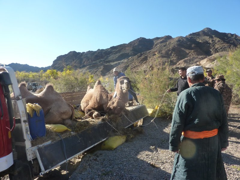 Wild camels just before leaving the truck