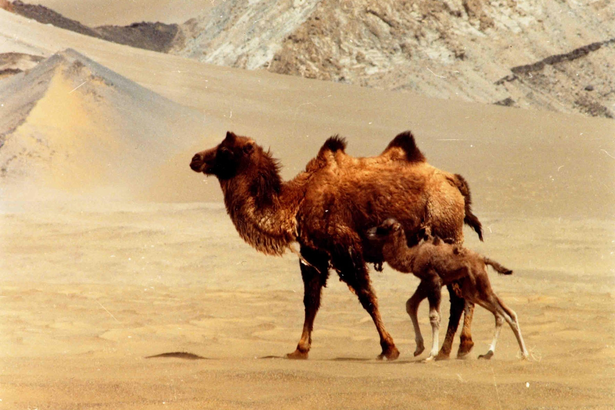 Geographical - The wild camel – a great survivor
