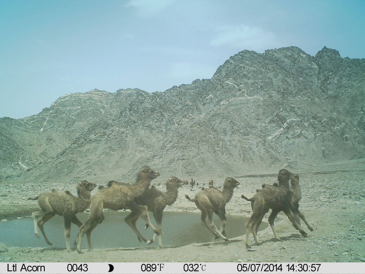 Group of young wild camel calves frisking around a water hole