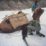 Camel stuck