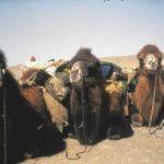 Camel team