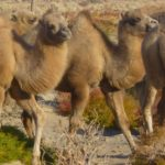 Wild Camel Calves, Breeding Centre, Mongolia