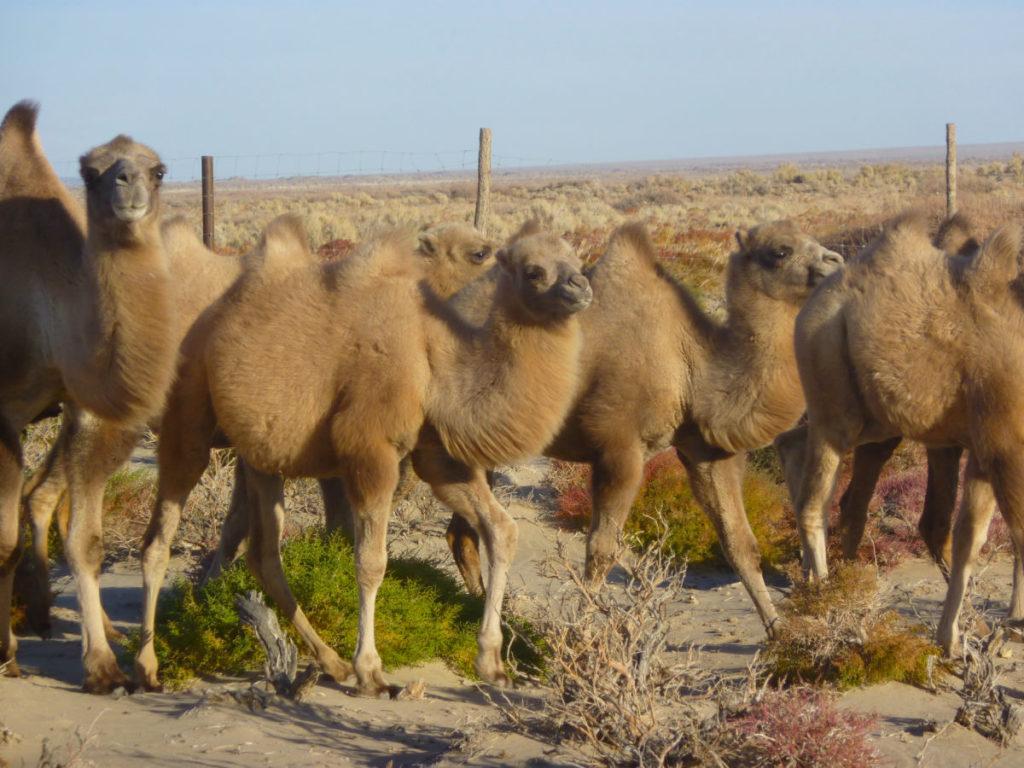 Wild Camel Calves, Breeding Centre, Mongolia