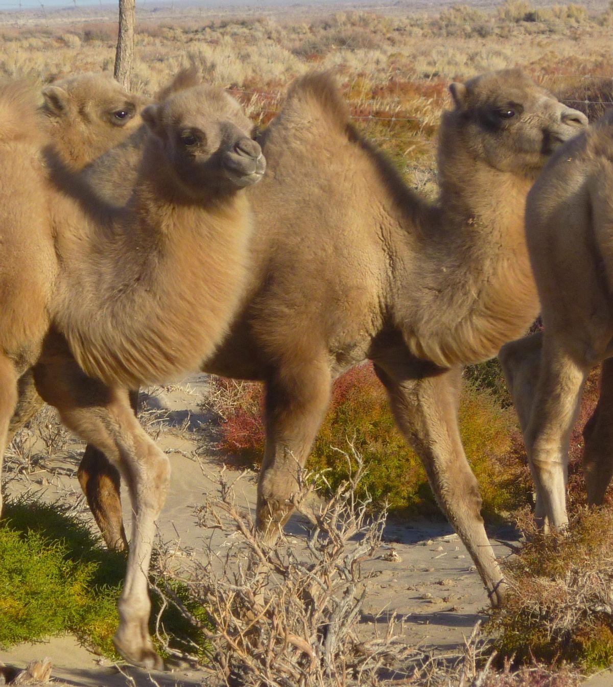 Centro de Cría, Mongolia