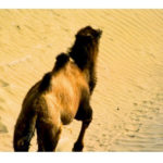 Wild Camel in the Desert of Lop, China