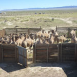 Wild Camels, Breeding Centre, Mongolia