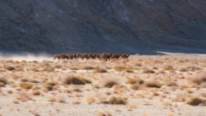 Wild Camels in China