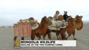 WCPF's Wild Camel Breeding Centre in Mongolia