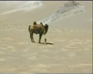 Wild Camel and Calf in the Desert of Lop