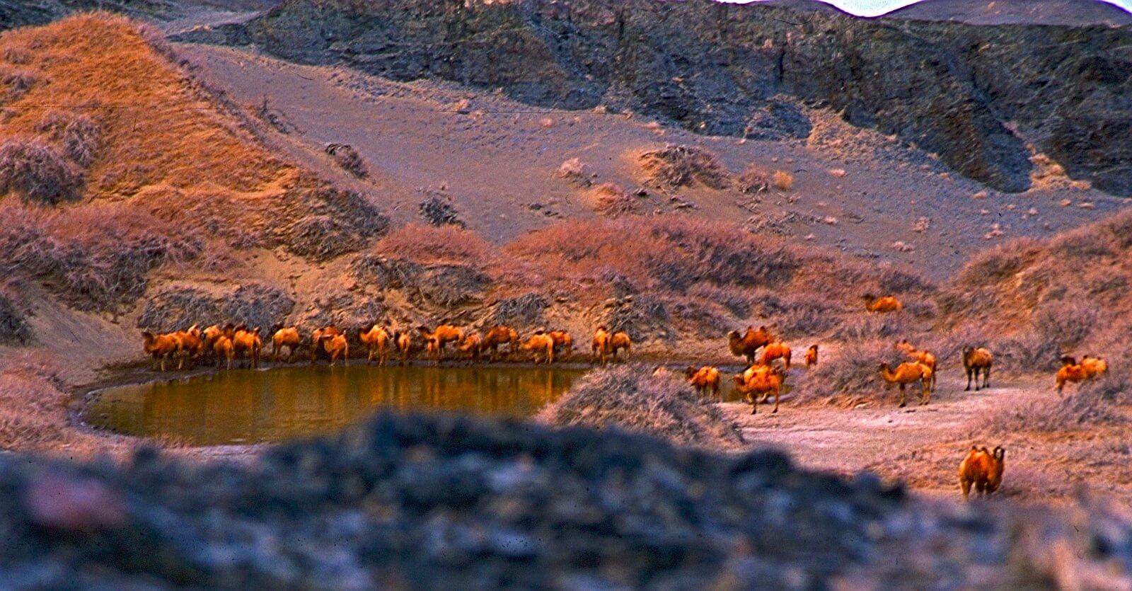 Mongolische Wildkamele