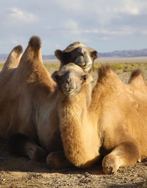 Urgent crowdfunding for the world's ONLY Wild Camel Breeding Centre launched