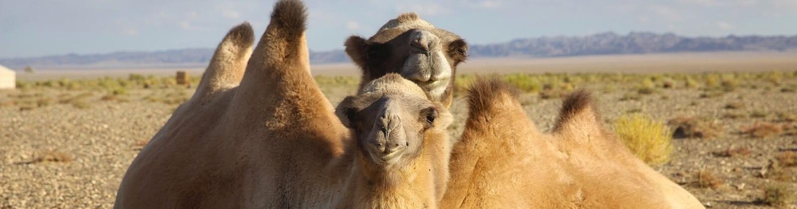 The wild camel (Camelus ferus)