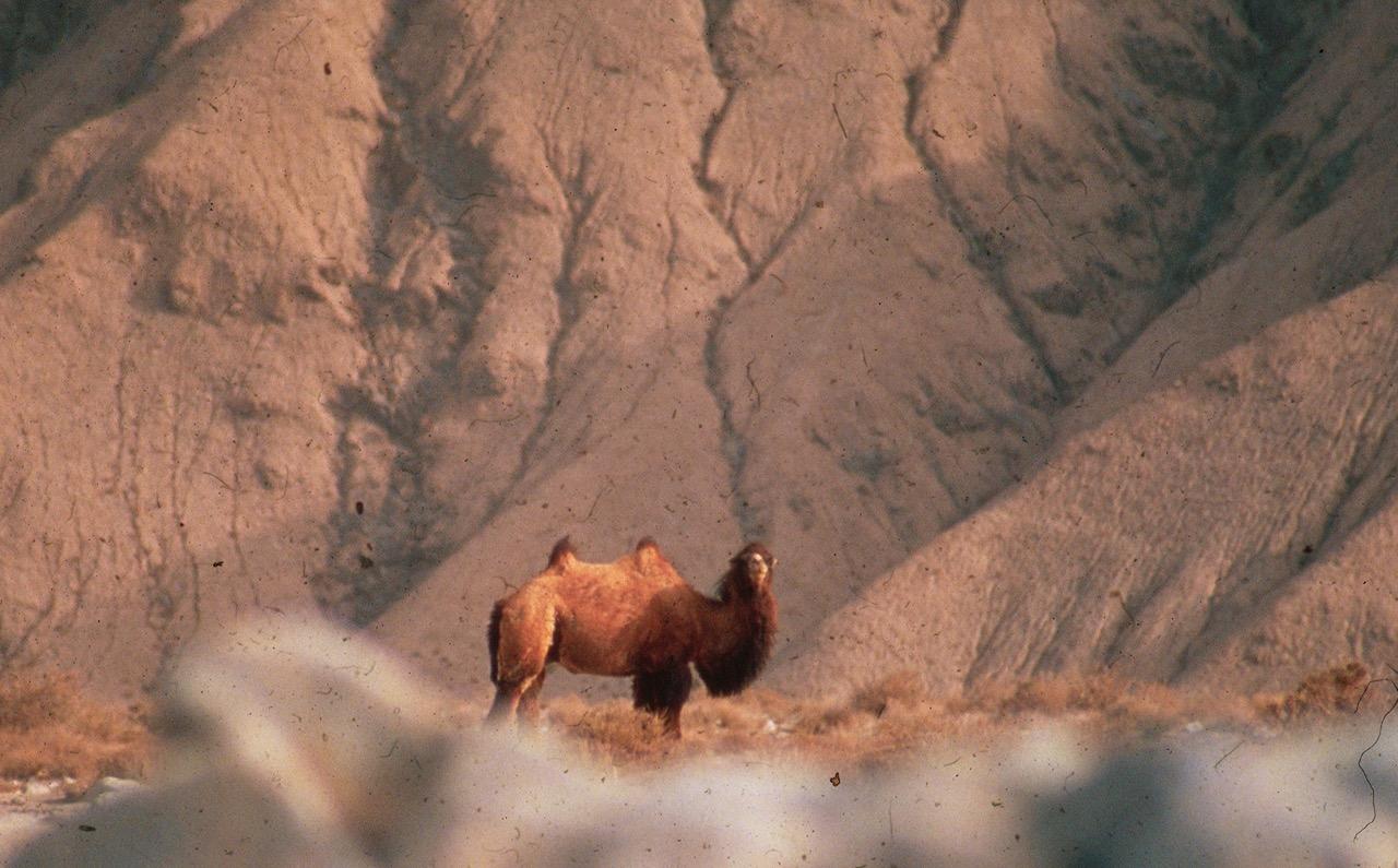 The Wild Camel