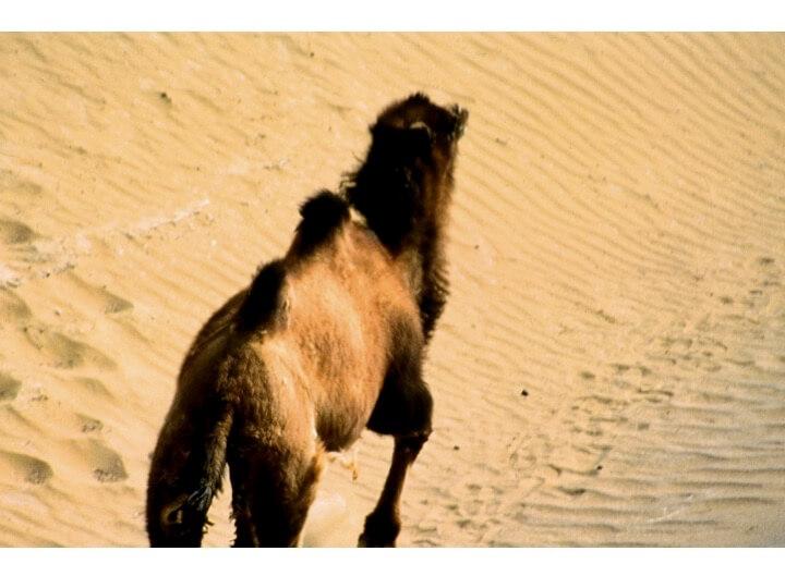 Wildkamel in der Wüste Lop, China