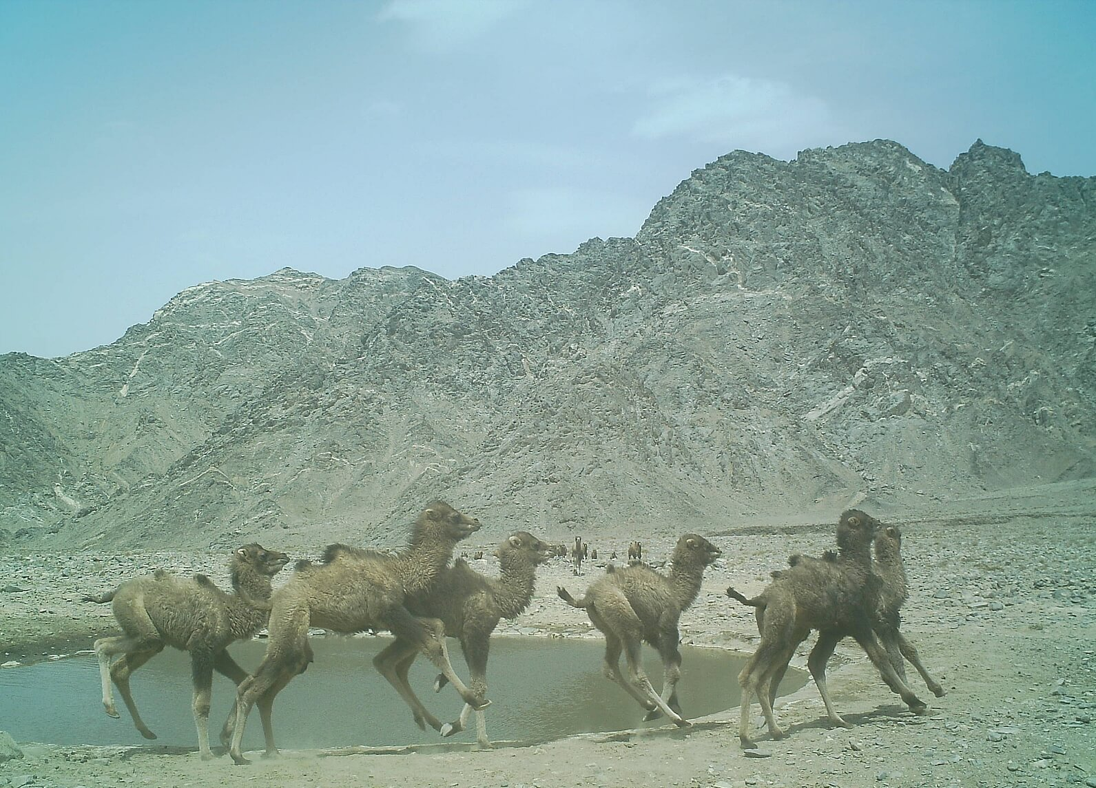 A group of young wild camel calves frisking around a water hole in the Desert of Lop, China
