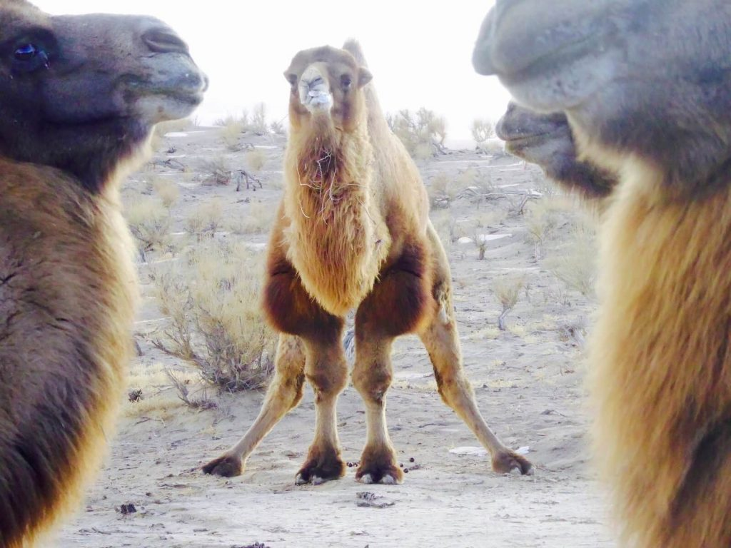 Wild camels' mating displays