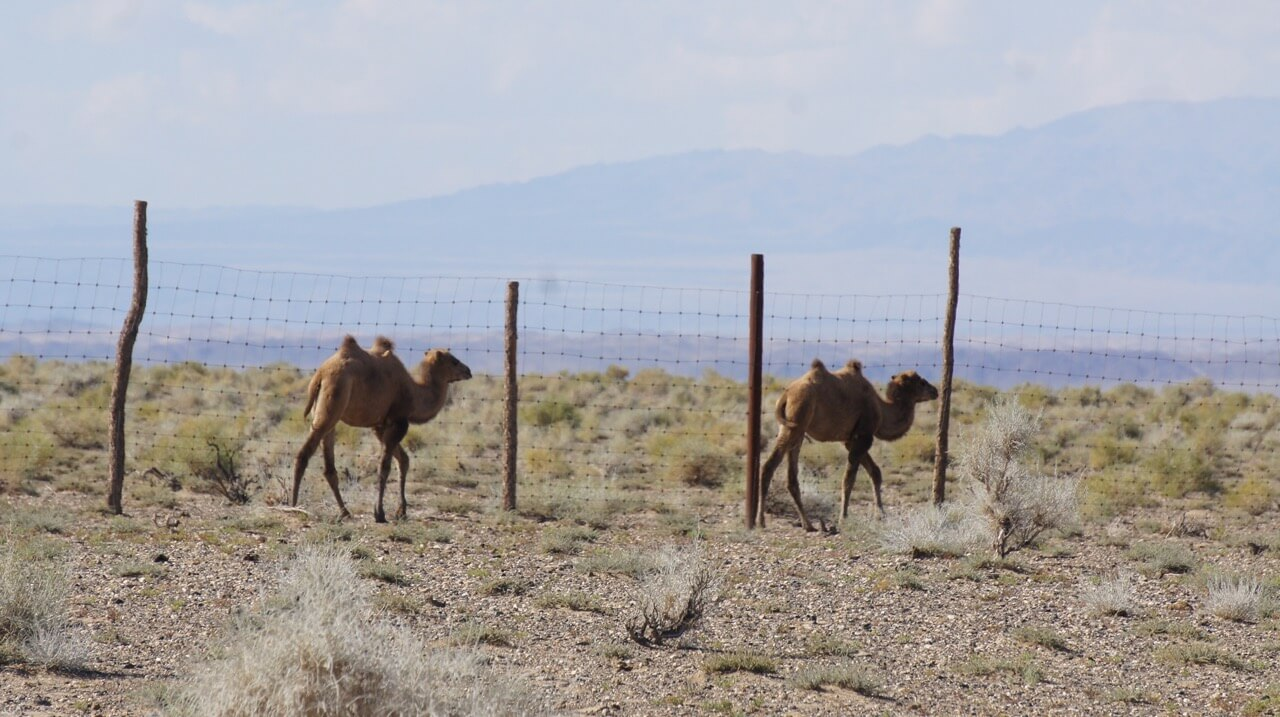 New wild camel calves at Zakhyn Us
