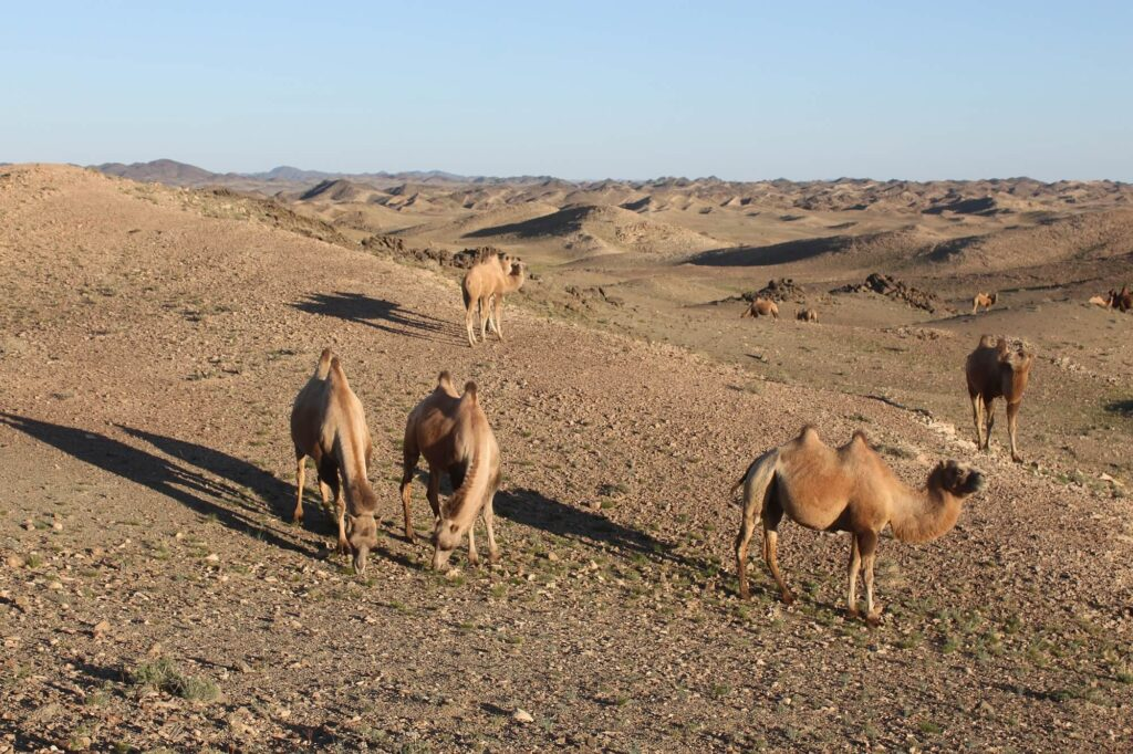 Wild camels from the Zakhyn Us breeding centre in Mongolia grazing under supervision in the wild