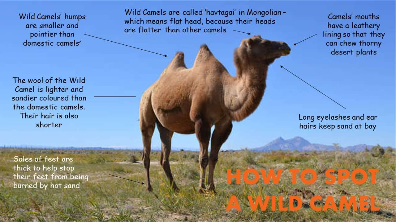 How to spot a wild camel